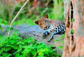 Vous aurez peut-être la chance d'apercevoir un léopard au parc national de Wilpattu.