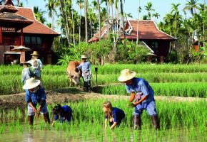 De nombreuses cultures et des rizières ont remplacé le pavot. PHOTOS B. PICHON/DR