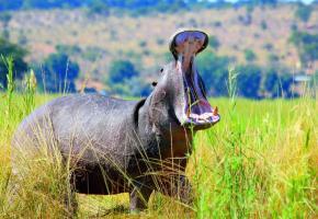 Sur les rives de la rivière Chobé, l'hippopotame a manifestement voix au chapitre! CROISIEUROPE