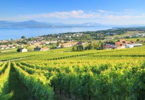 Le magnifique vignoble de Mont-sur-Rolle. PETER COLBERG