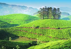 Les plantations de thé, à Munnar, dans le Kerala, de véritables tableaux de maître.
